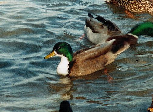 Awd Duck