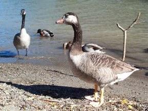 Awd Goose